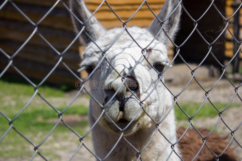 Lama för staket fotografering för bildbyråer