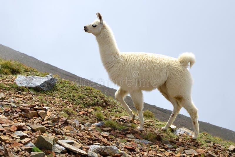 Lama glama bianco del lama immagini stock