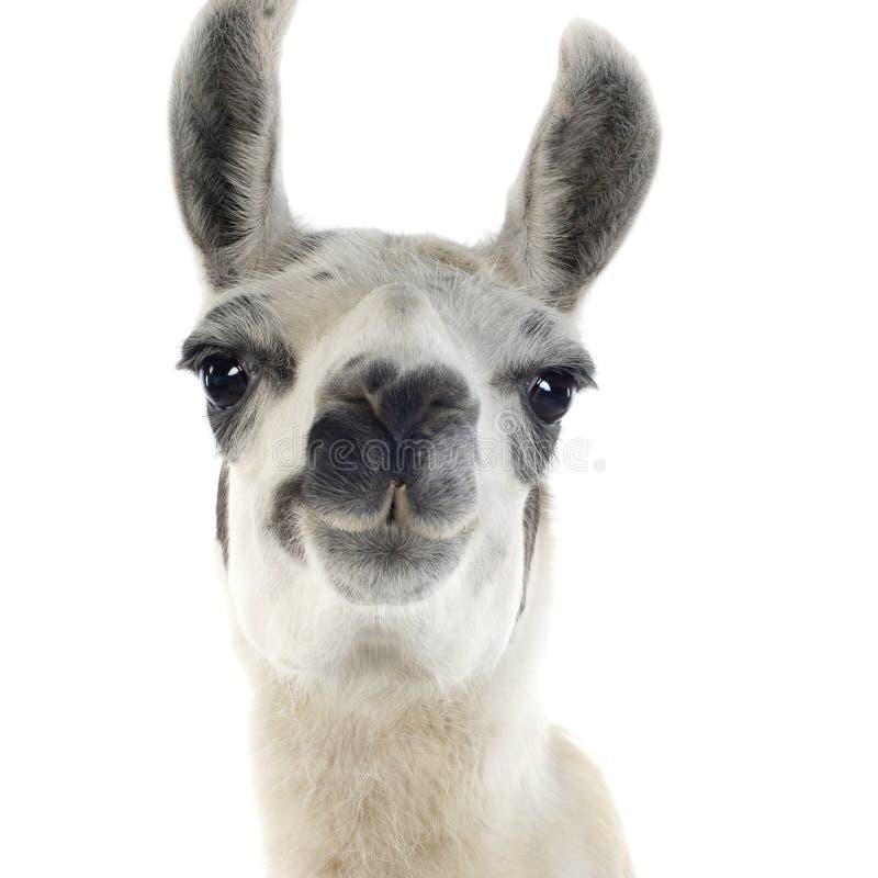Lama - glama do Lama imagem de stock