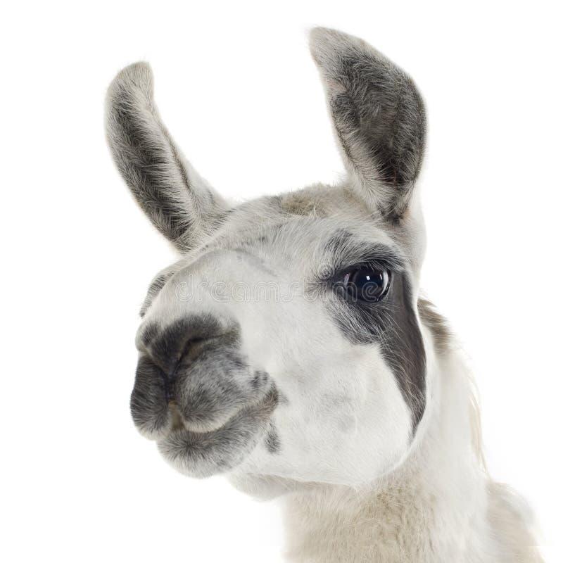 Lama - glama do Lama imagens de stock royalty free