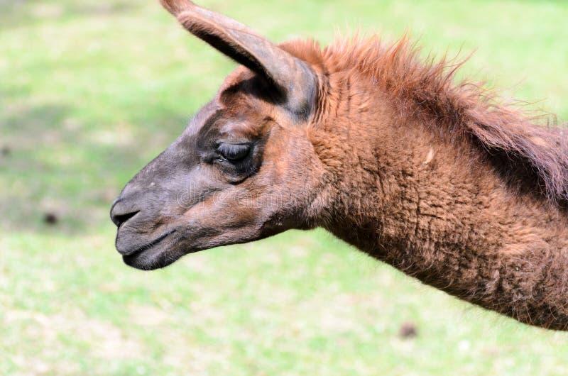 Lama glama lässt in der Weide an einem sonnigen Tag des Frühlinges weiden Lama guanicoe der Kamelfamilie stockfoto