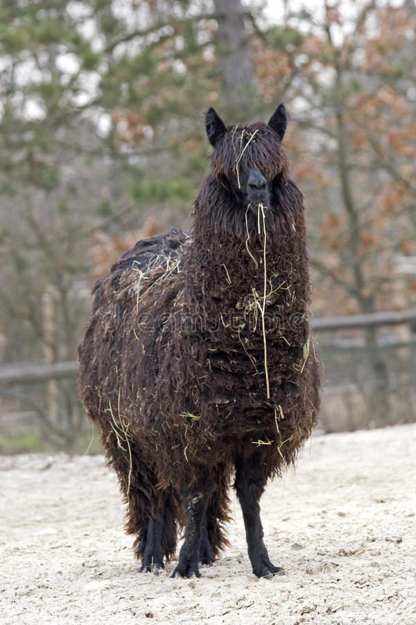 Lama glama or llama funny. Funny brown llama covered with hay. Picture was taken in winter and llama has a very long fur royalty free stock photos