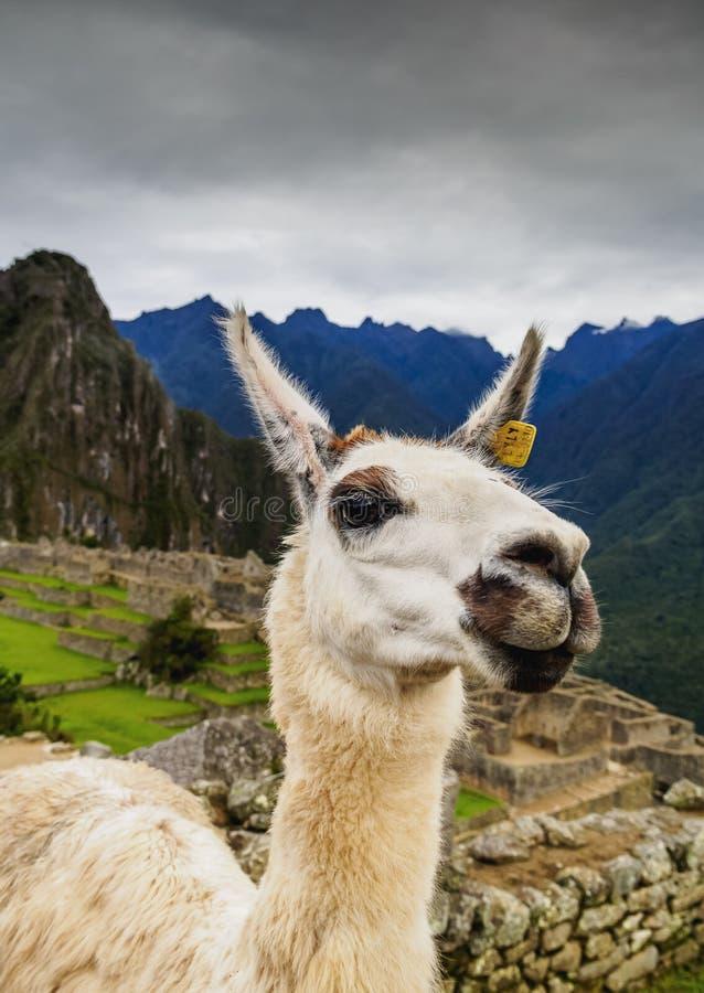Lama i Machu Picchu, Peru royaltyfria bilder