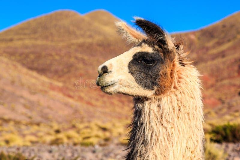 Lama i närbild med berg i bakgrunden arkivbild