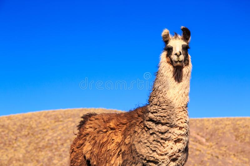 Lama i närbild med berg i bakgrunden arkivbilder