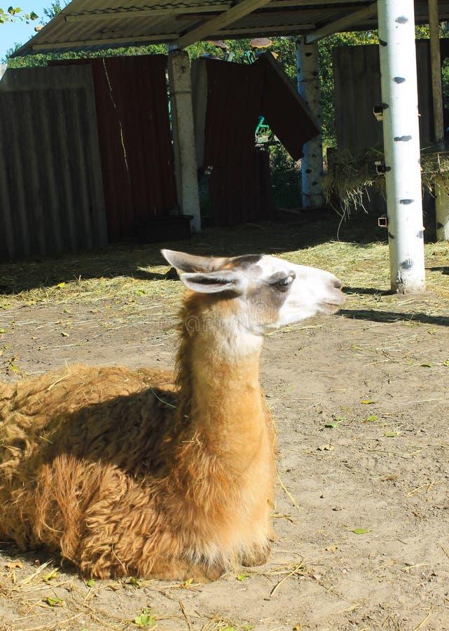 Lama i paddock royaltyfria bilder