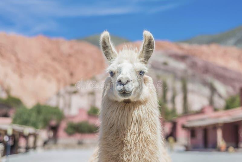 Lama i Purmamarca, Jujuy, Argentina. royaltyfri bild