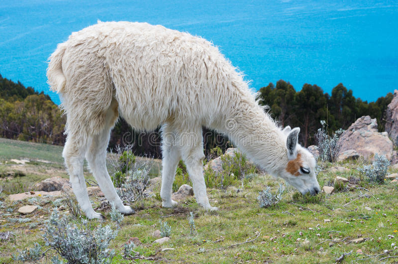Lama on Island of the Sun on Titicaca lake. Bolivia. royalty free stock photos