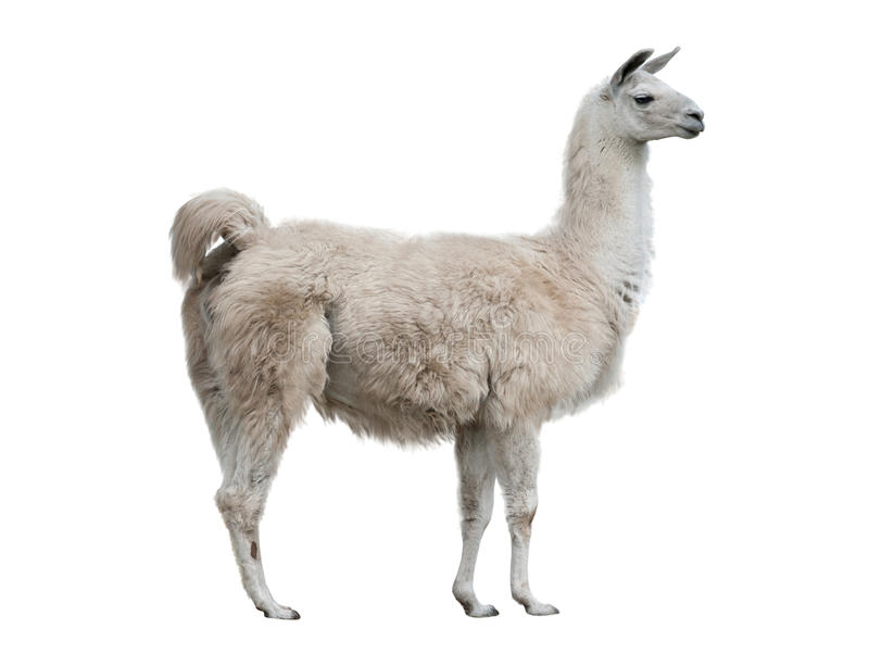 Lama isolated stock photo