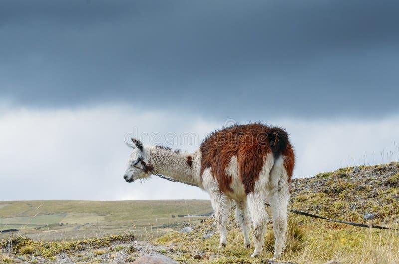 Lama ist ein domestiziertes südamerikanisches camelid, das als Fleisch und Satztier durch Andenkulturen seit dem Vor-kolumbianisc stockfotografie