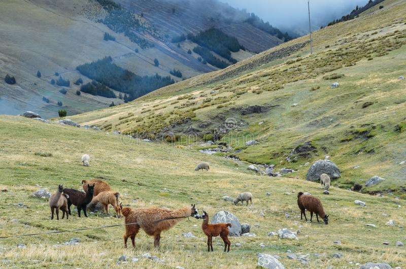 Lama ist ein domestiziertes südamerikanisches camelid, das als Fleisch und Satztier durch Andenkulturen weit verbreitet ist lizenzfreie stockfotografie
