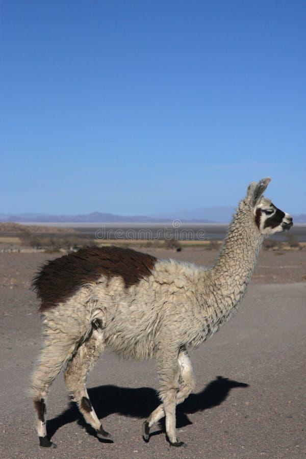 Lama in Jijira lizenzfreies stockbild