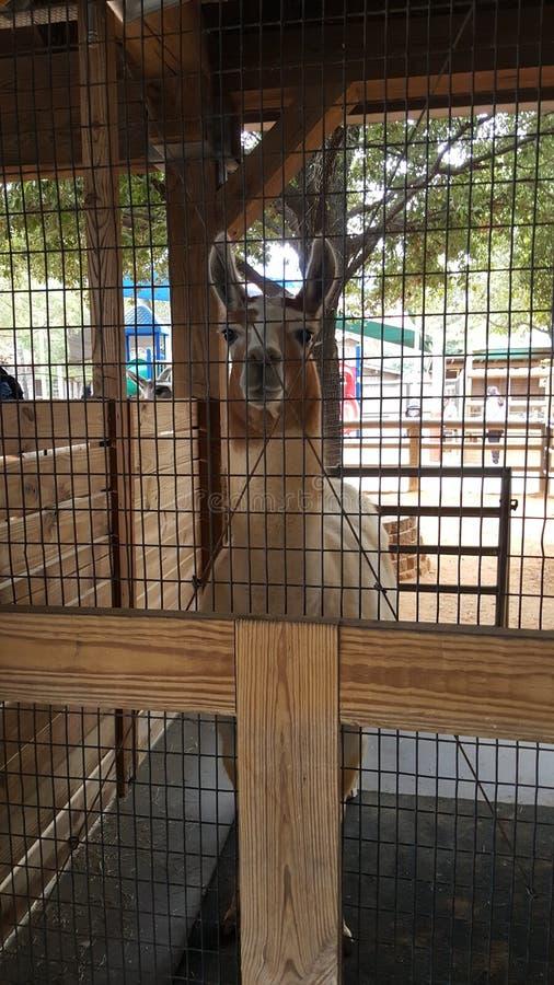 Lama który gapi się zdjęcie royalty free