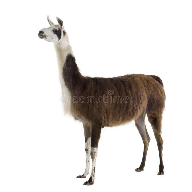 Lama - Lama glama stock photo