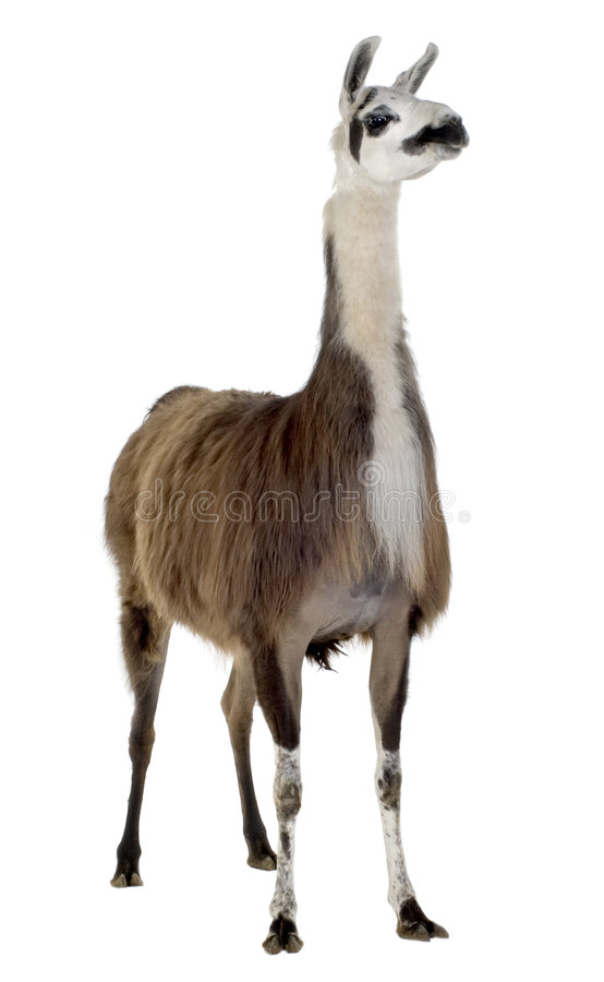 Lama - Lama glama royalty free stock photo
