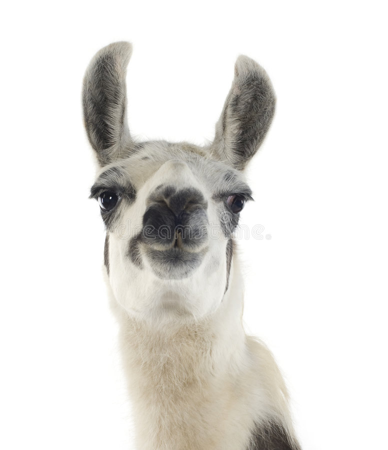 Lama - Lama glama stock photos