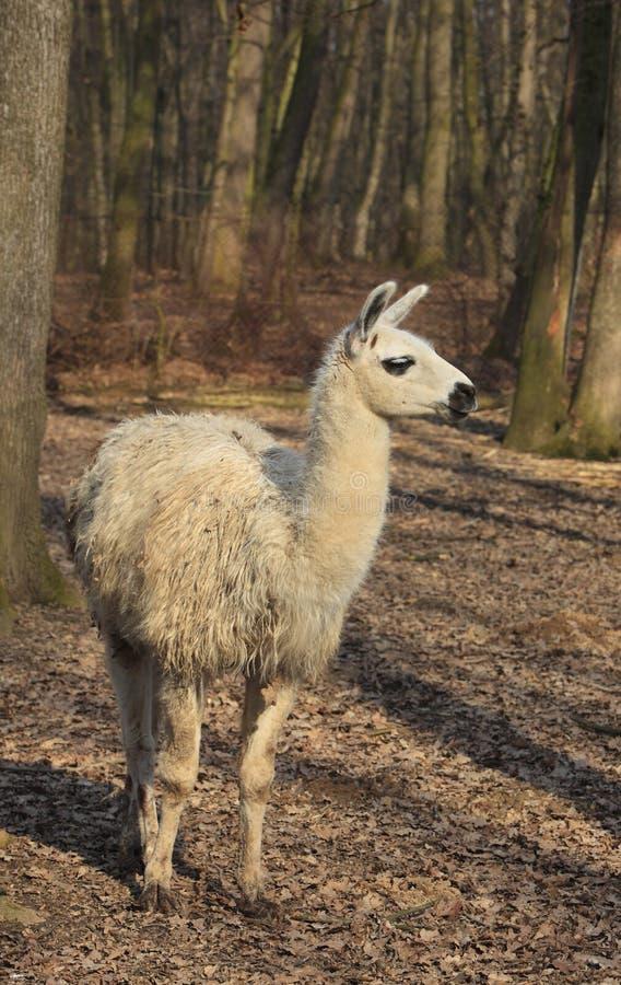 Lama (Lama glama) lizenzfreie stockfotos