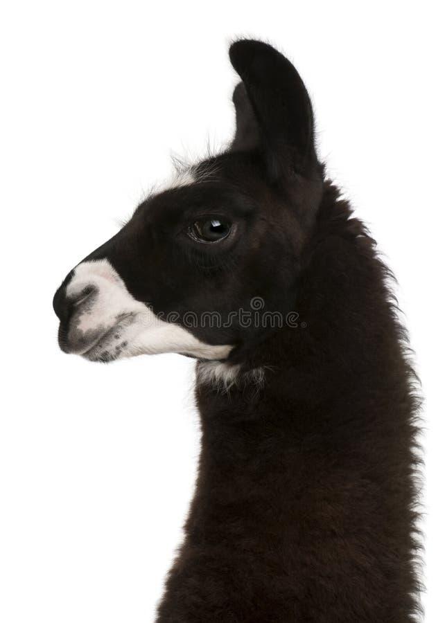 Lama, Lamaglama, voor witte achtergrond royalty-vrije stock fotografie