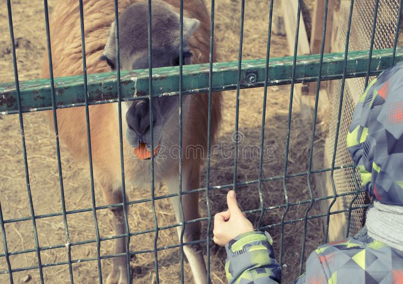 Lama lives in a cage at the zoo. royalty free stock image