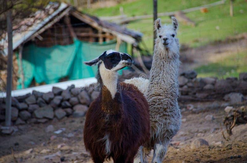 Lama lives on a farm. Lama who lives on a farm. closeup photo stock photo
