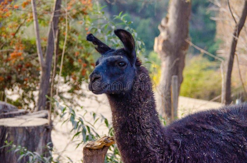 Lama lives on a farm. Lama who lives on a farm. closeup photo royalty free stock photo