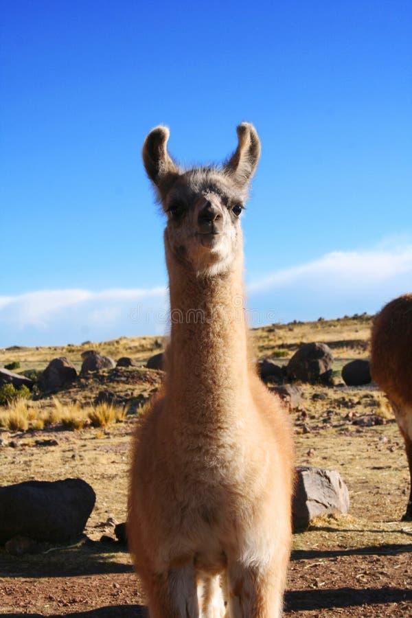 Lama llama in Puno, Peru.  stock photo