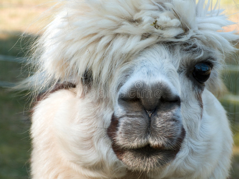 Lama - looking at you royalty free stock images