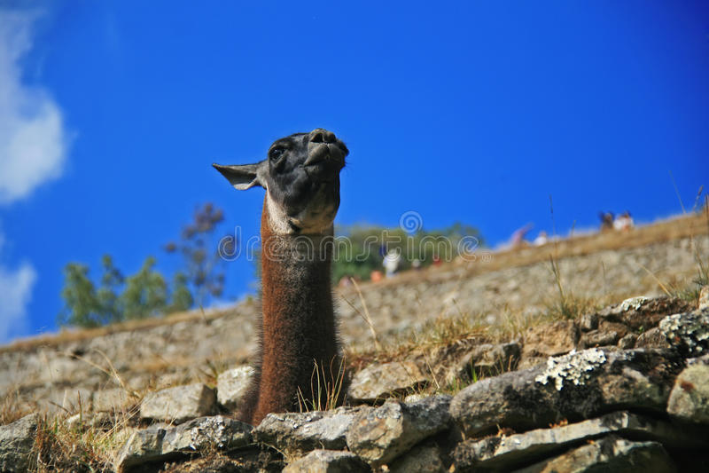 Lama In Machu Picchu Royalty Free Stock Photo