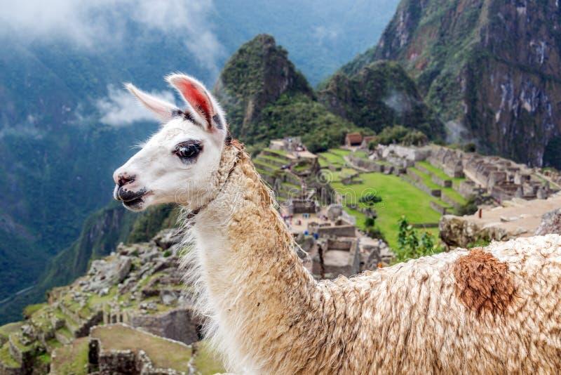 Lama a Machu Picchu immagini stock