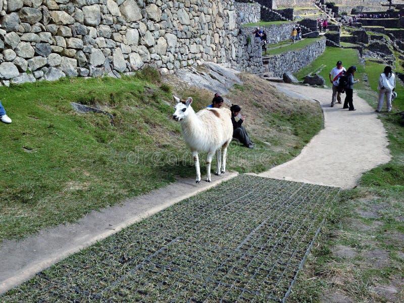 Lama in Machu Picchu royalty-vrije stock foto