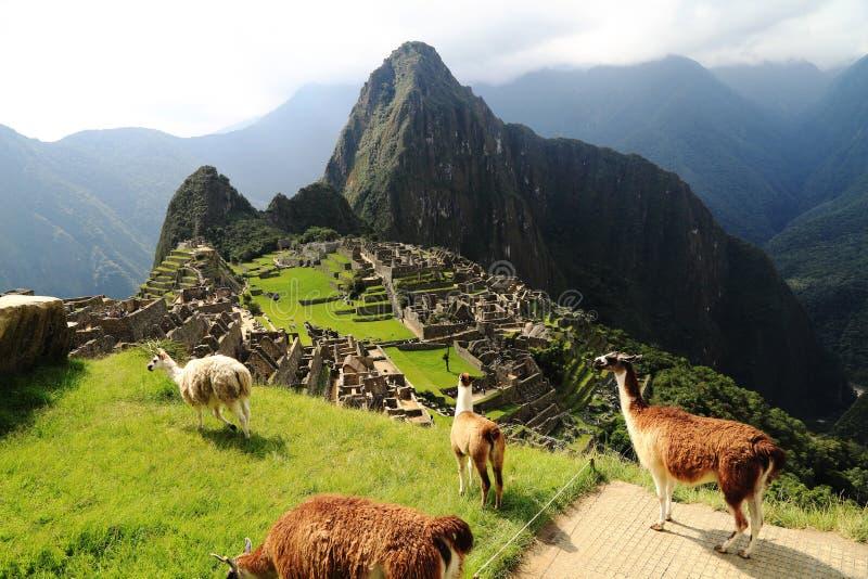 Lama a Machu Picchu, Perù fotografia stock