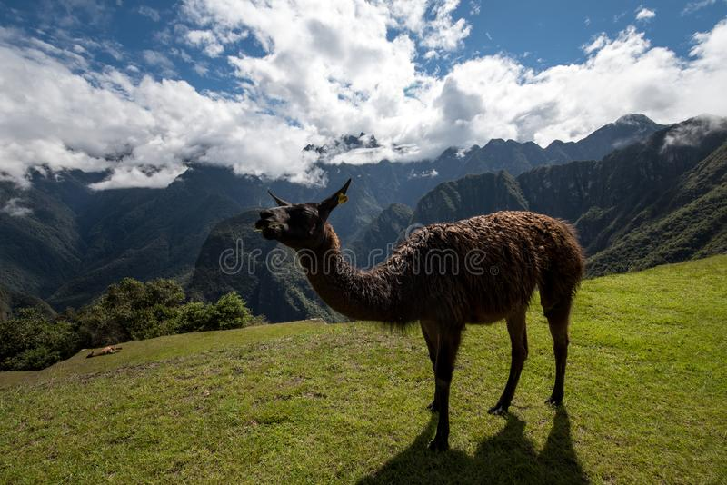 Lama in Machu Picchu Peru royalty-vrije stock afbeelding