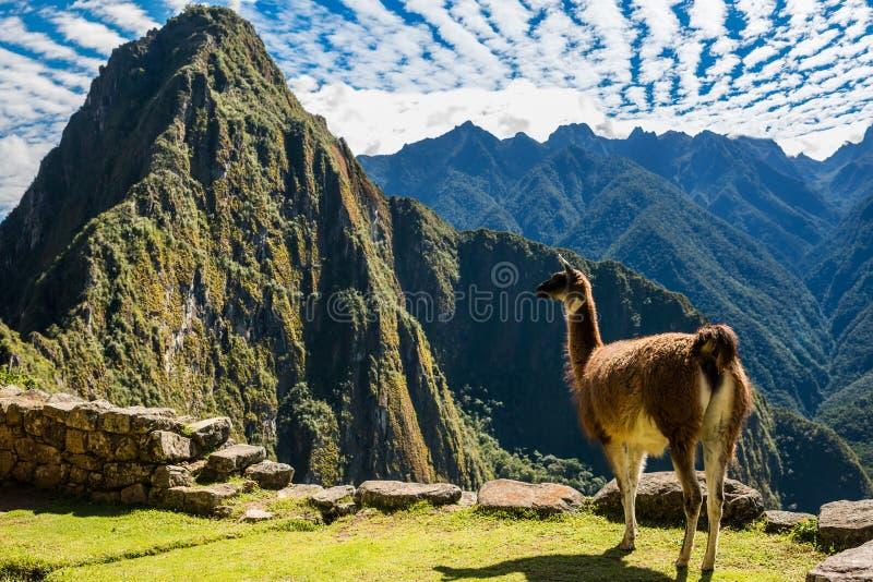Lama Machu Picchu ruiniert peruanische Anden Cuzco Peru lizenzfreie stockfotos
