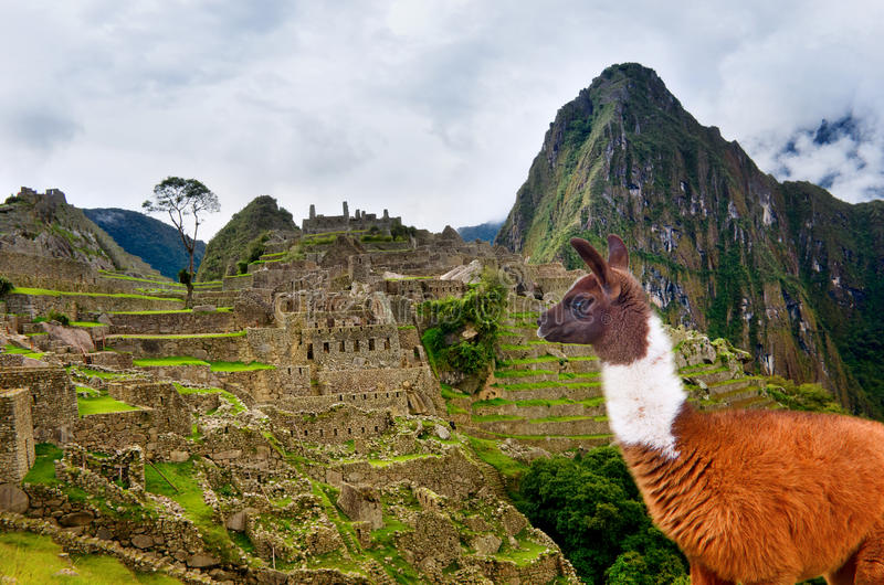 Lama in Machu Picchu , UNESCO World Heritage Site. Lama in ancient city of Machu Picchu, Peru. UNESCO World Heritage Site stock photos