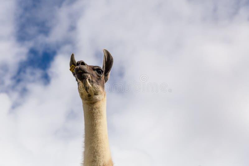 Lama majestueux photo stock