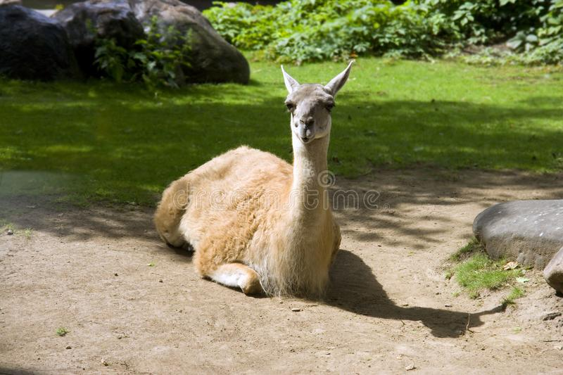 Lama mammal South America cloven-hoofed animal Andes cattle breeding red-haired. Lama is a favorite pet of South America descendant of guanaco pack with soft royalty free stock photos