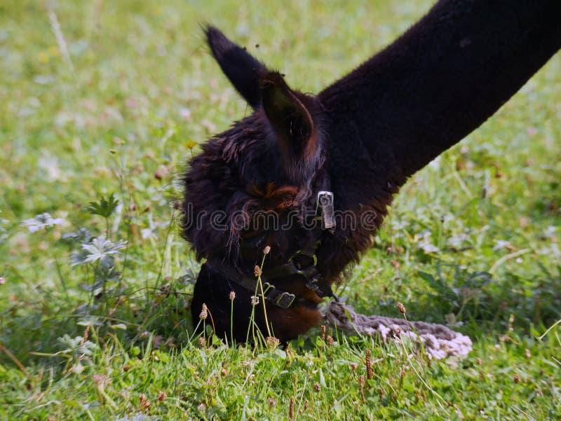 Lama mangeant l'herbe photos stock