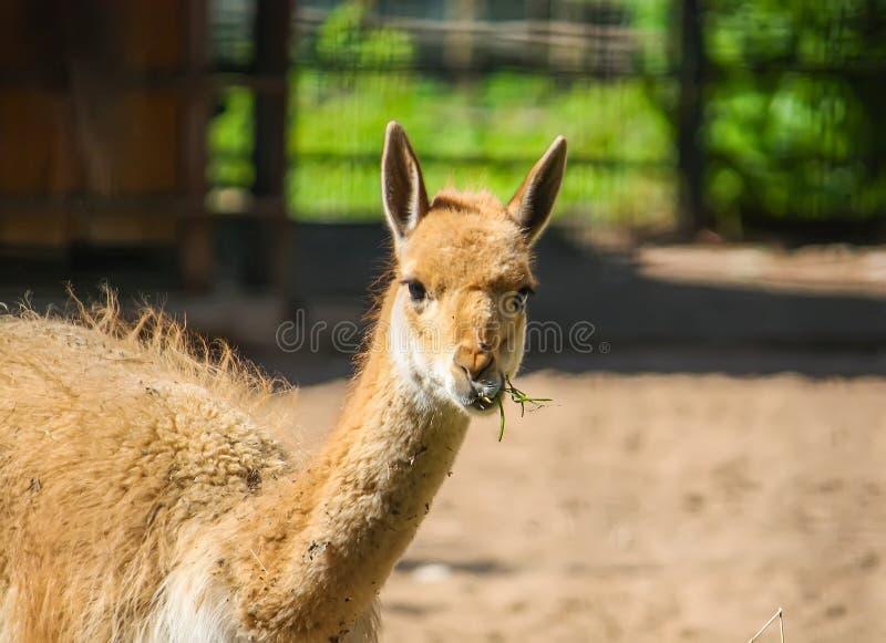 Lama mangeant le foin dans le jardin zoologique image stock