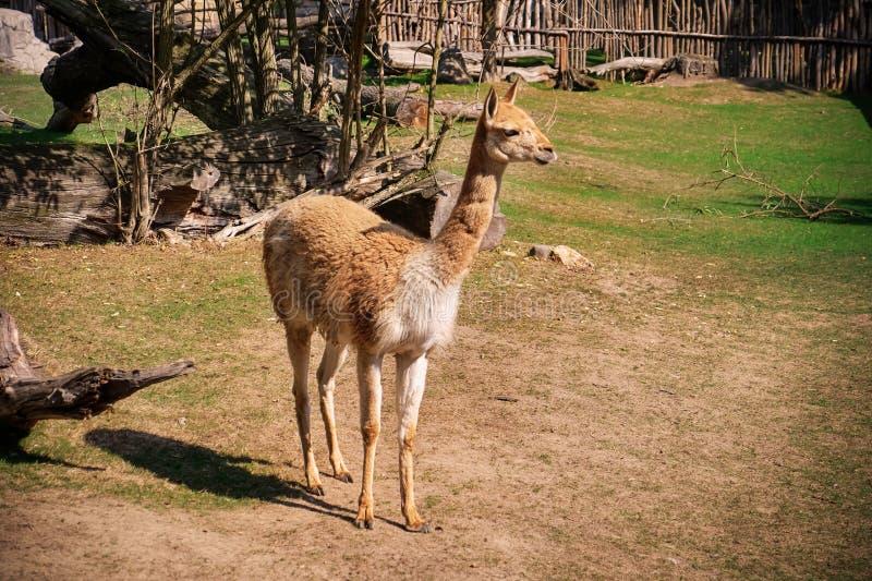Lama mignon dans le jardin zoologique photo stock