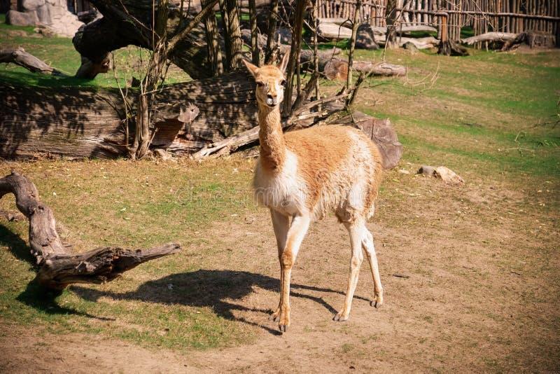 Lama mignon dans le jardin zoologique image libre de droits