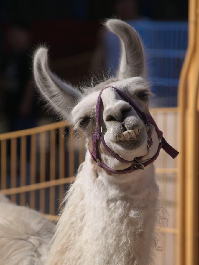 Lama mit einem Grinsen lizenzfreies stockbild
