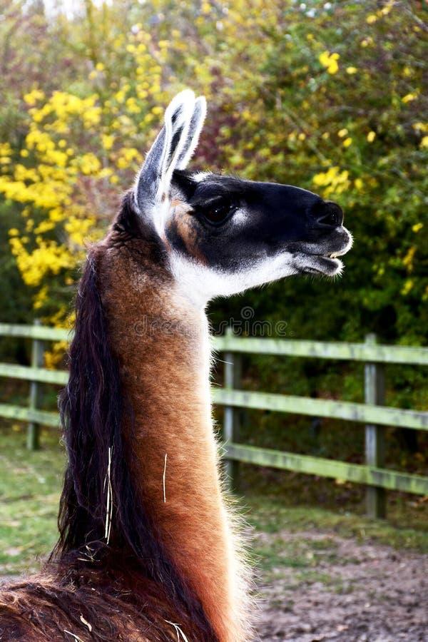 Lama mit schwarzem Gesicht lizenzfreie stockfotografie