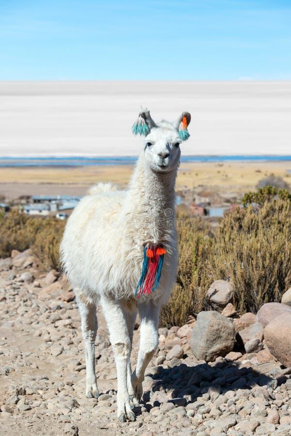 Lama mit Uyuni-Salz-Ebenen lizenzfreie stockfotografie