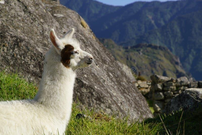 Lama na ruína de Machu Picchu, Peru imagens de stock