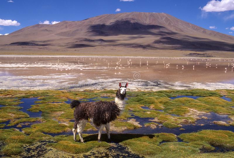 Lama na Santa De Ayes parku narodowym w Boliwia obraz royalty free