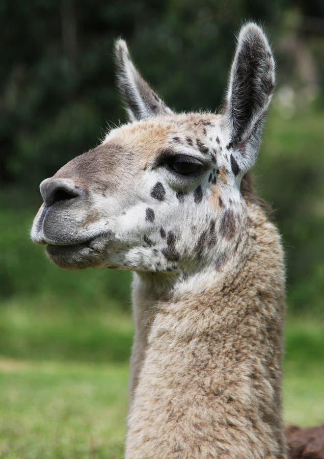 Lama nel Perù fotografia stock libera da diritti