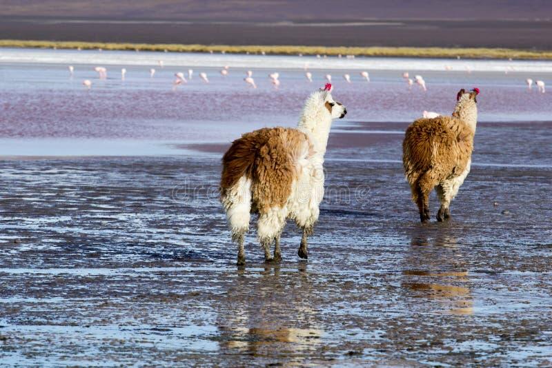 Lama no Laguna Colorada, Bolívia imagens de stock royalty free