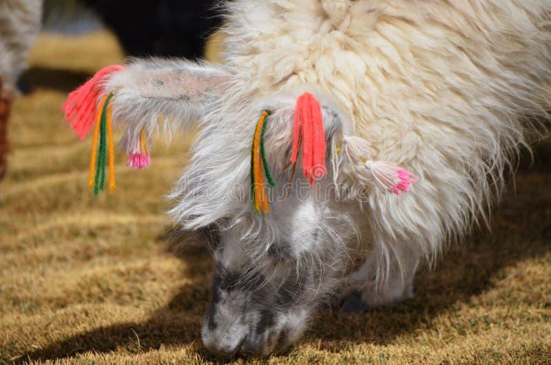 Lama no Laguna Colorada, Bolívia foto de stock