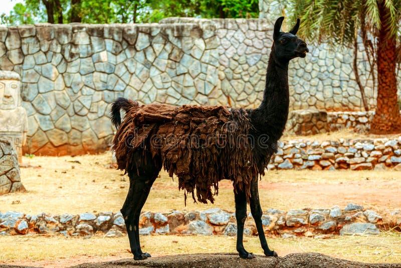 Lama noir mangeant l'herbe sur le fond en pierre photo libre de droits
