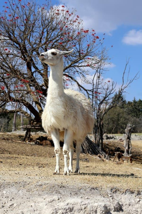 Lama oder Lama glama stockbilder